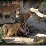 PandaClub – Road Trip i Kbh. Zoo