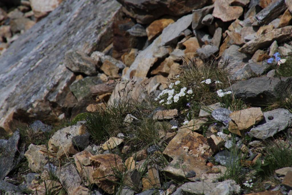 ...og jeg tror, at jeg fandt de ægte Edelweiss-blomster!
