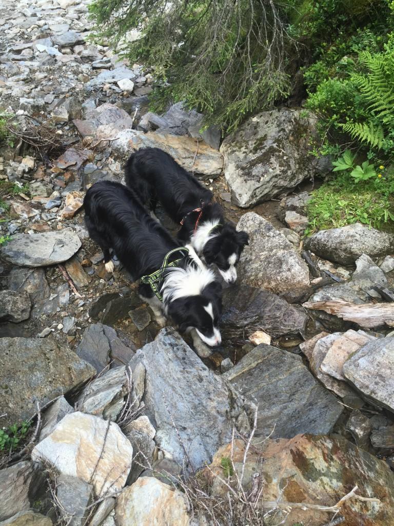 Hundene tanker selv op undervejs og køler poter m.m. i det friske vand.